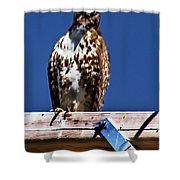 Swainson Hawk Shower Curtain