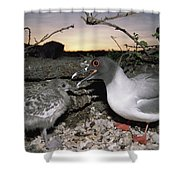 Swallow-tailed Gull And Chick In Pebble Shower Curtain by Tui De Roy