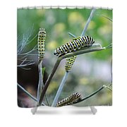 Swallowtail Caterpillars On Dillweed Shower Curtain