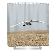 Swan Coming In For A Landing Shower Curtain