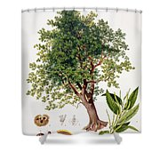 Sweet Chestnut Shower Curtain by Johann Kautsky