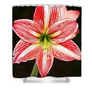 Sweet Lillian Amaryllis Shower Curtain