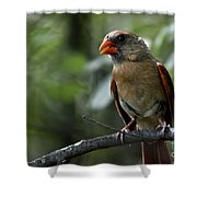 Sweet Young Cardinal Shower Curtain