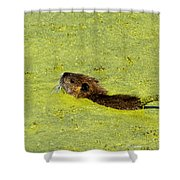 Swimming In Pea Soup - Baby Muskrat Shower Curtain