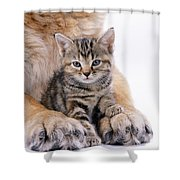 Tabby Kitten Between Large Dogs Paws Shower Curtain