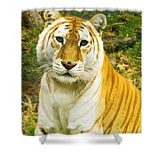 Tabby Tiger I Shower Curtain