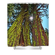Tahoe Trees - Lake Tahoe By Diana Sainz Shower Curtain