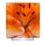 Tangerine Daylily Closeup Shower Curtain