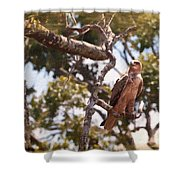 Tawny Eagle Shower Curtain by Perla Copernik
