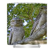 Tawny Frogmouths Shower Curtain