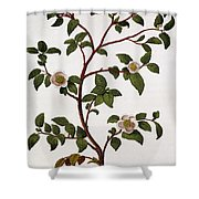 Tea Branch Of Camellia Sinensis Shower Curtain