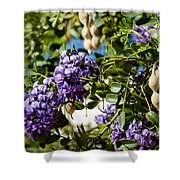 Texas Mountain Laurel Sophora Flowers And Mescal Beans Shower Curtain
