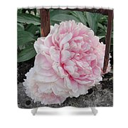 The Buxom Cabbage Rose Shower Curtain