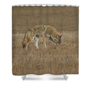 The Coyotes Shower Curtain