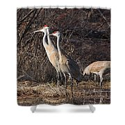 The Gathering...sandhill Cranes Shower Curtain