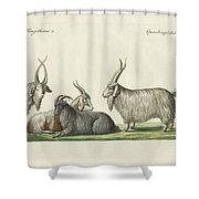 The Kashmir Goats Introduced In France Shower Curtain