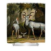 A Kudus Or Kudu Shower Curtain