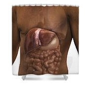 The Liver And Digestive System Shower Curtain