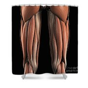 The Muscles Of The Upper Legs Rear Shower Curtain