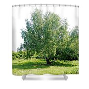 The Old Birch Tree Shower Curtain