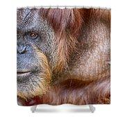 The Orangutan Album  Shower Curtain