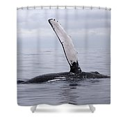 The Pectoral Fin Of A Humpback Shower Curtain