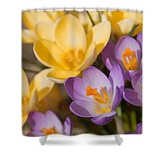 The Purple And Yellow Crocus Flowers Shower Curtain