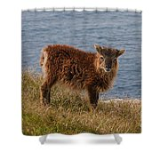 The Soay Sheep  Shower Curtain