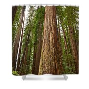 The Survivor - Massive Redwoods Sequoia Sempervirens In Redwoods National Park Named Stout Tree. Shower Curtain