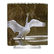 The Swan Spreads Its Wimgs Shower Curtain