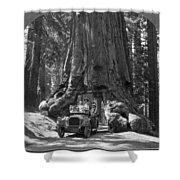 The Wawona Giant Sequoia Tree Shower Curtain