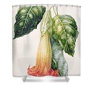 Thorn Apple Flower From Ecuador Datura Rosei Shower Curtain