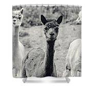 Three Alpaca Friends Shower Curtain