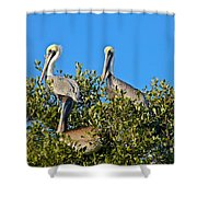 Three Brown Pelicans Shower Curtain