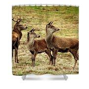Wildlife Three Red Deer Shower Curtain