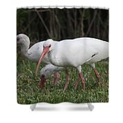 Three Ibis Together Shower Curtain