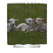 Three Lambs Shower Curtain