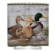 Three Mallards Card - Ducks Shower Curtain