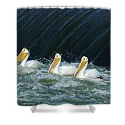 Three Pelicans Hanging Out  Shower Curtain