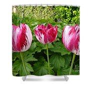 Three Pink Rembrandt Tulips Shower Curtain