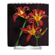 Three Red Daylilies Shower Curtain
