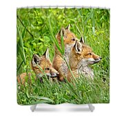 Three Red Fox Pups Shower Curtain