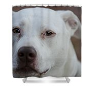Through The Eyes Of A Pitbull II  Shower Curtain