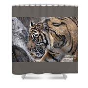 Sumatran Tiger-5418 Shower Curtain