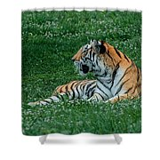 Tiger At Rest 1 Shower Curtain