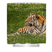 Tiger At Rest 3 Shower Curtain