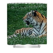Tiger At Rest 4 Shower Curtain