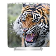 Tiger Growl Shower Curtain