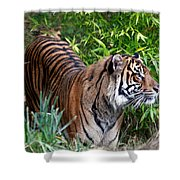 Tiger In The Vast Jungles Shower Curtain