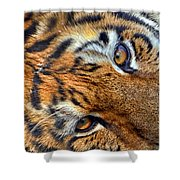 Tiger Peepers Shower Curtain